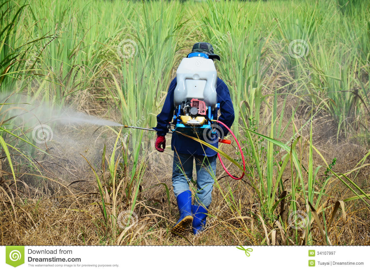 Farmer Spraying Herbicide On Sugarcane Field Royalty Free