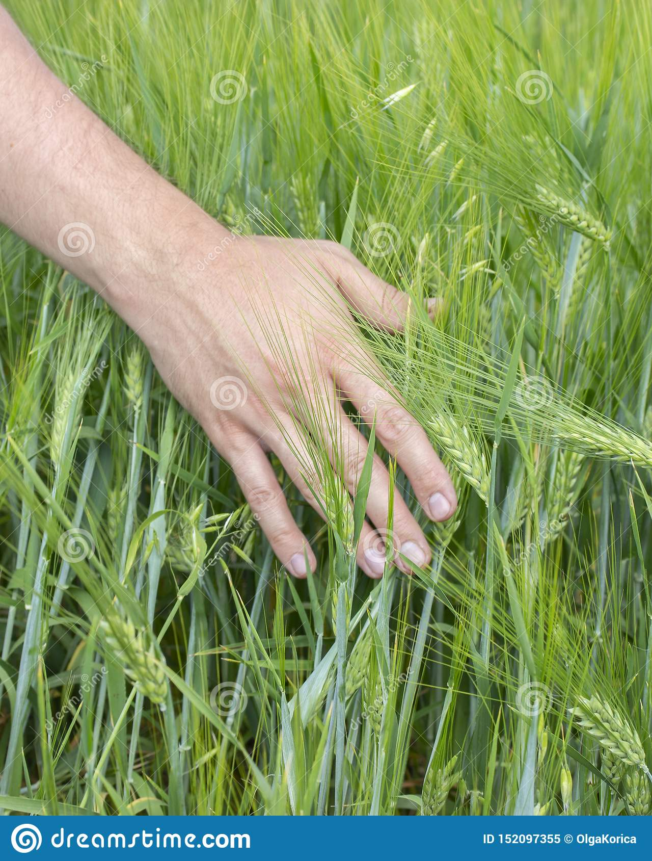 The Farmer Touches The Ears Of Cereal Crops Rye Barley
