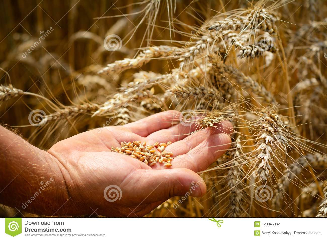 The farmer on a wheat field checks the maturity of wheat grain. The concept of farming.