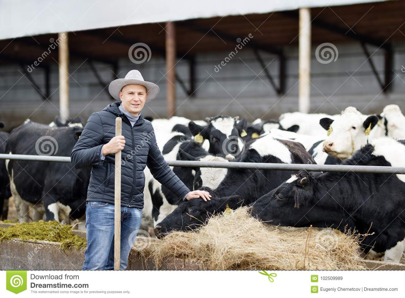 Farmer working on farm with dairy cows