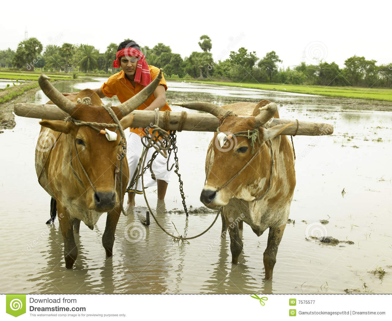 Indian farmer working in his paddy field.