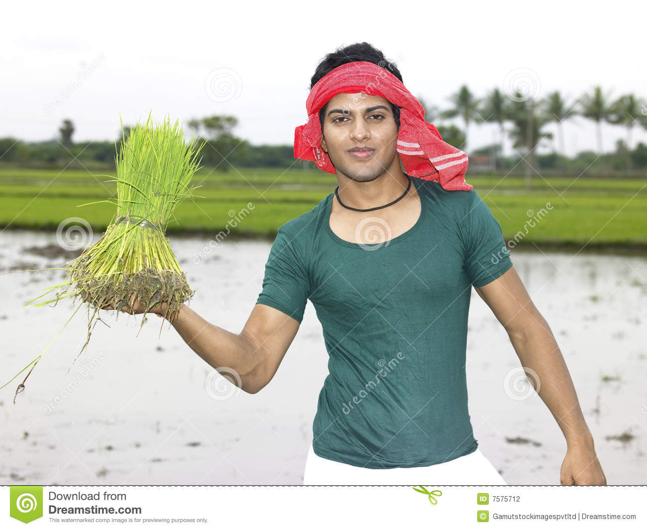 Farmer Working In His Paddy Field Stock Photography ...