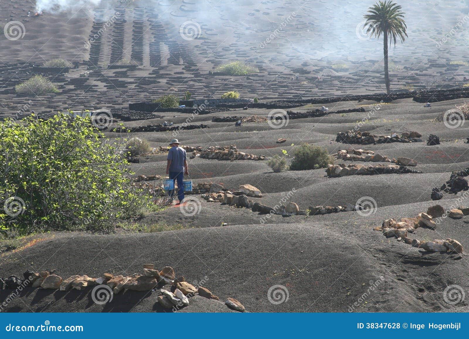Worker is working in a vineyard in surrealis black lava fields, Lanzarote, Spain