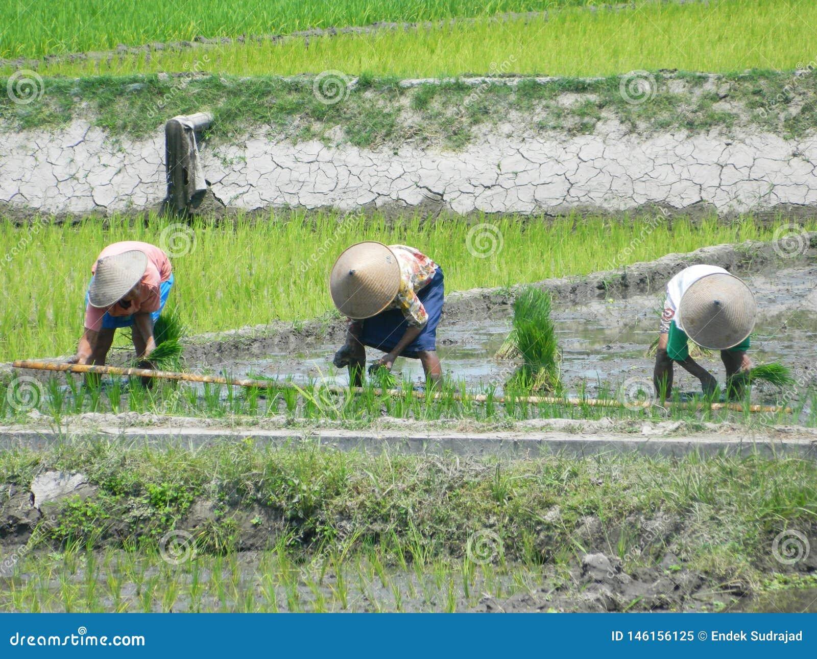Farmers at rice field, Java Indonesia