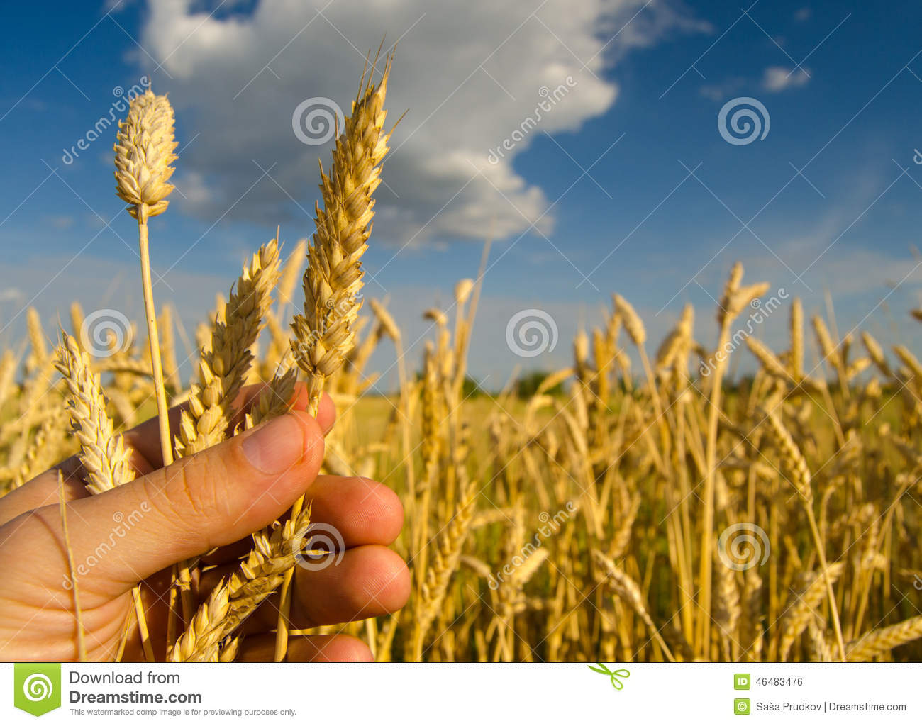 Farmers hand holding one stem of ripe wheat seeds