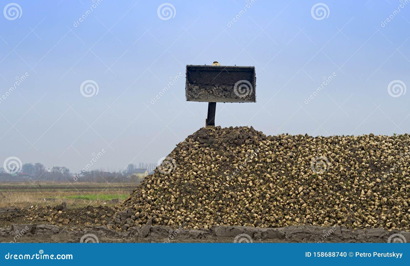 Farmers harvest sugar beet