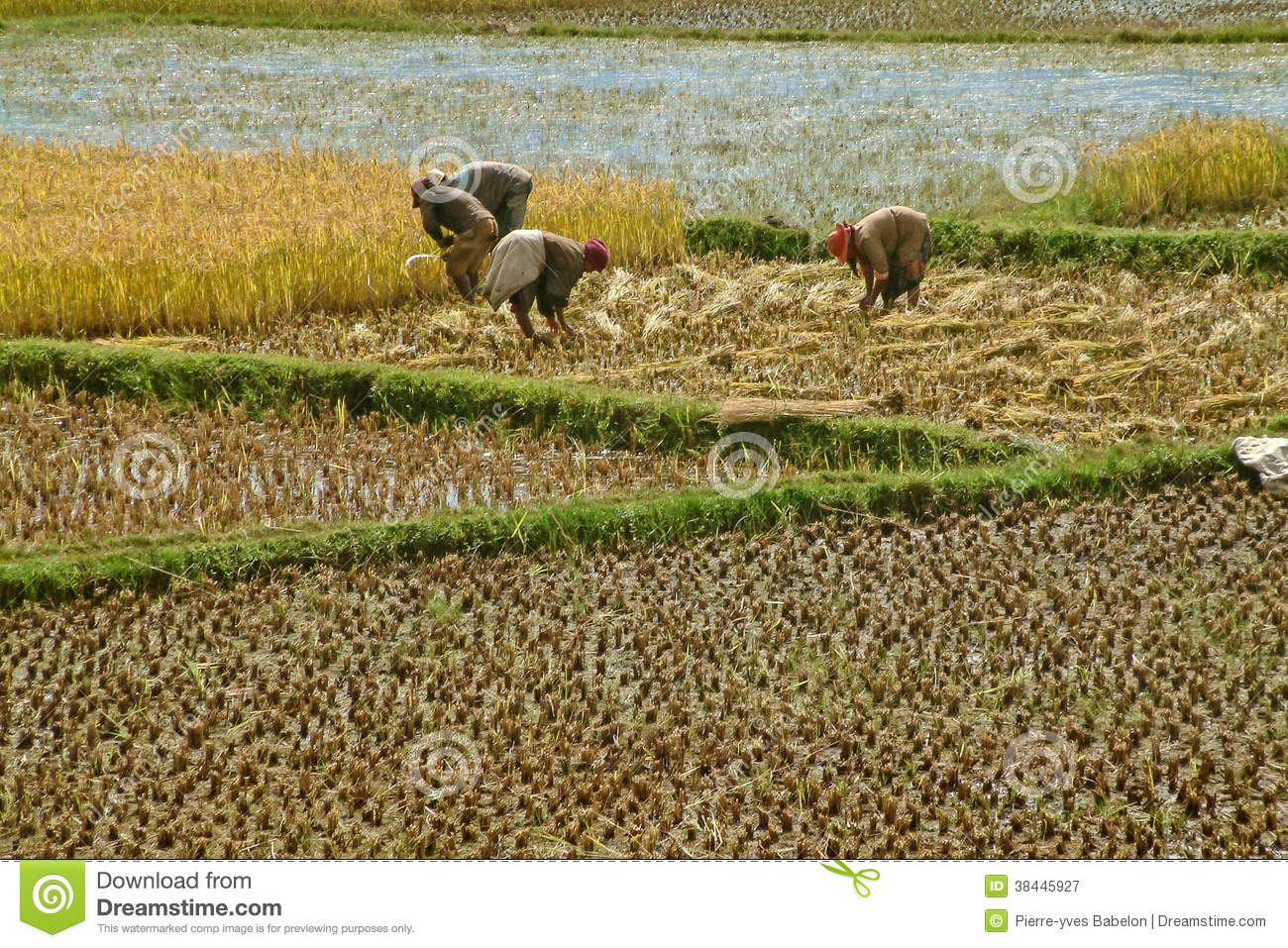 Download Farmers planting rice editorial photography. Image of campaign - 38445927