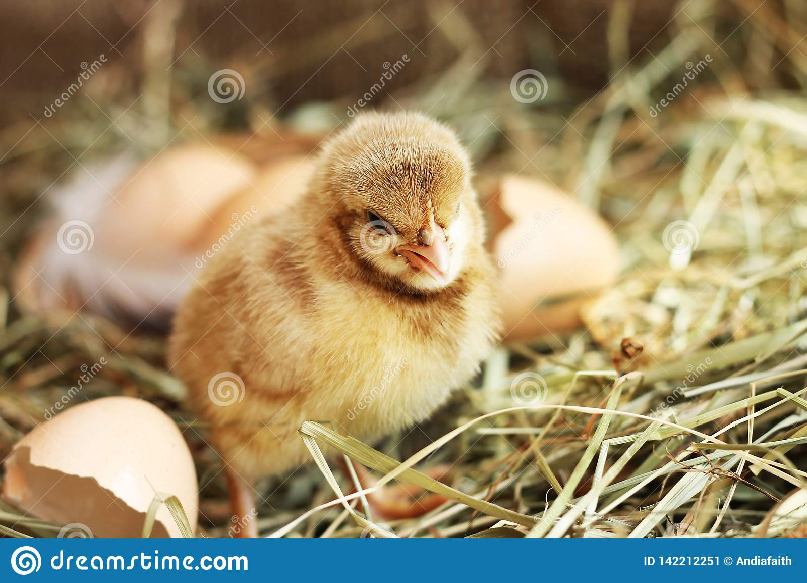 Farming Beeld van weinig kip op hooi