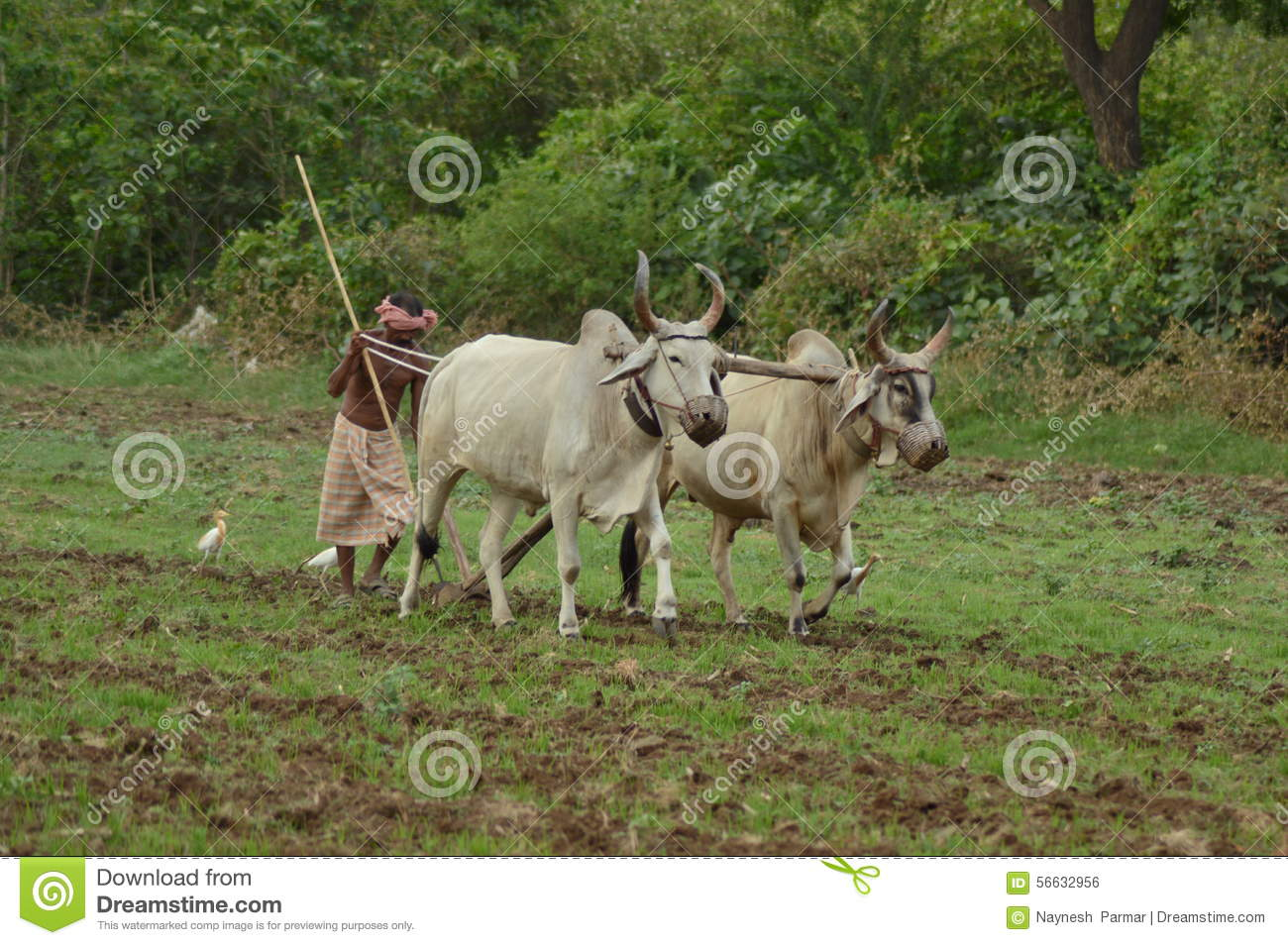 indian farmer tilling the land with pair bullocks and