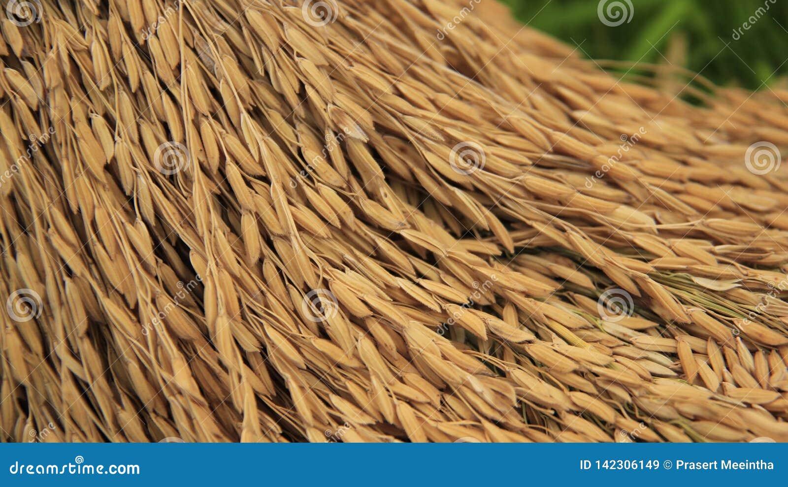 Farming Germen del arroz