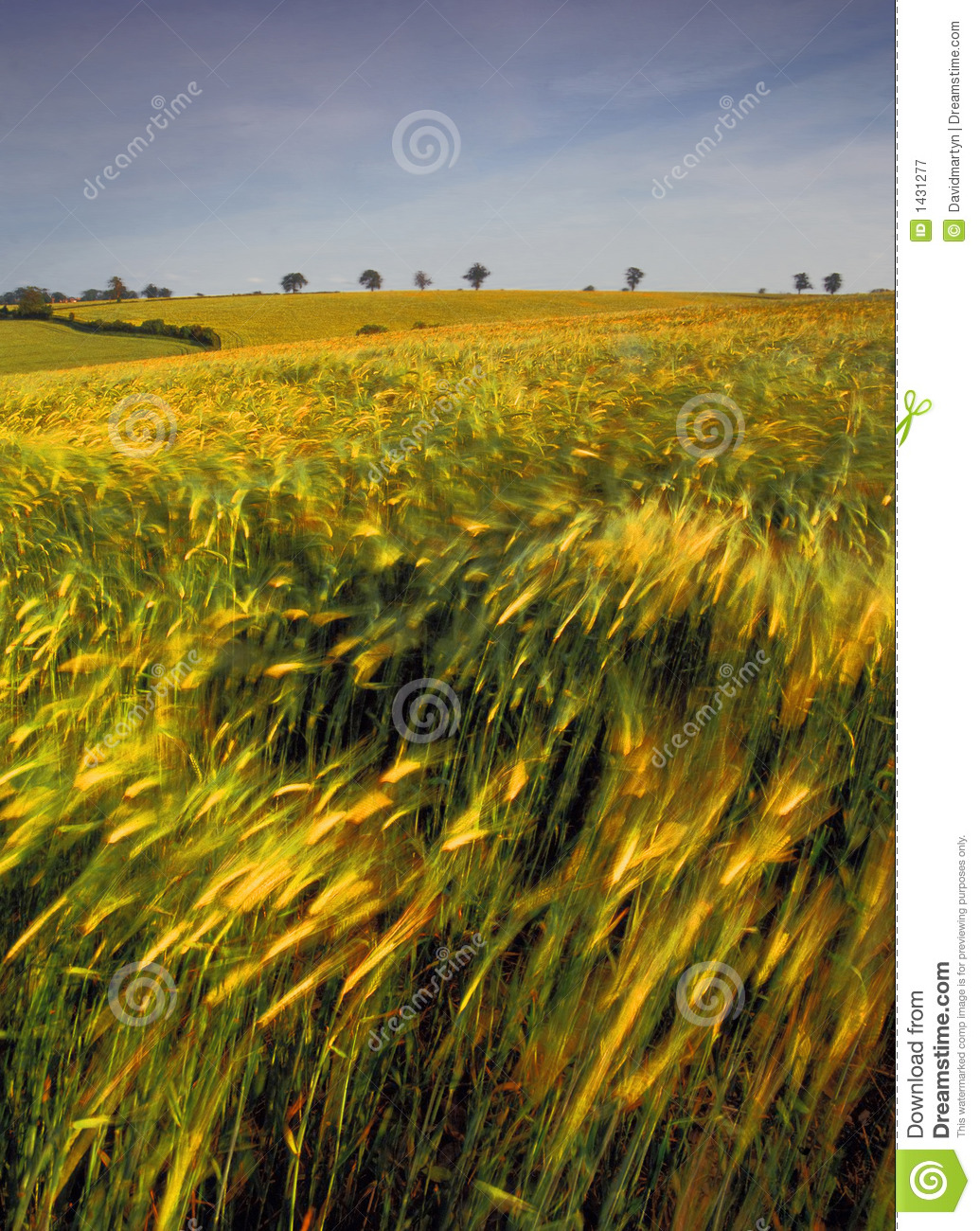 Farmland With Cereal Crops Stock Image. Image Of Rural