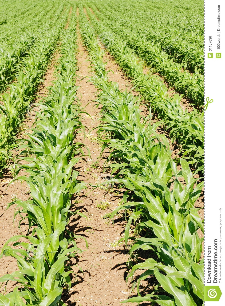 Farmland Crops Stock Photo. Image Of America, Crop, Corn