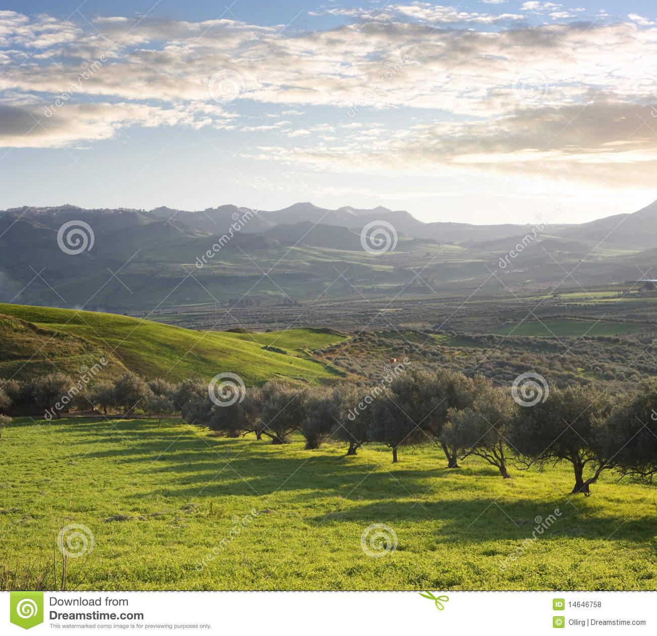 Farmland With Olive Trees At Sunset
