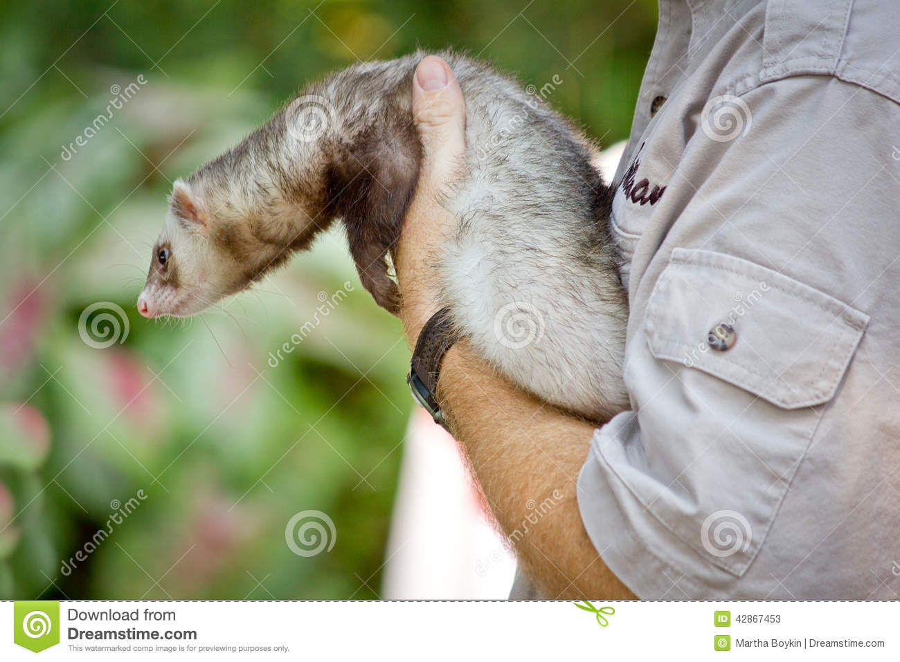 farret at the zoo  european polecat stock photo image Zoo Clip Art weasel face clipart