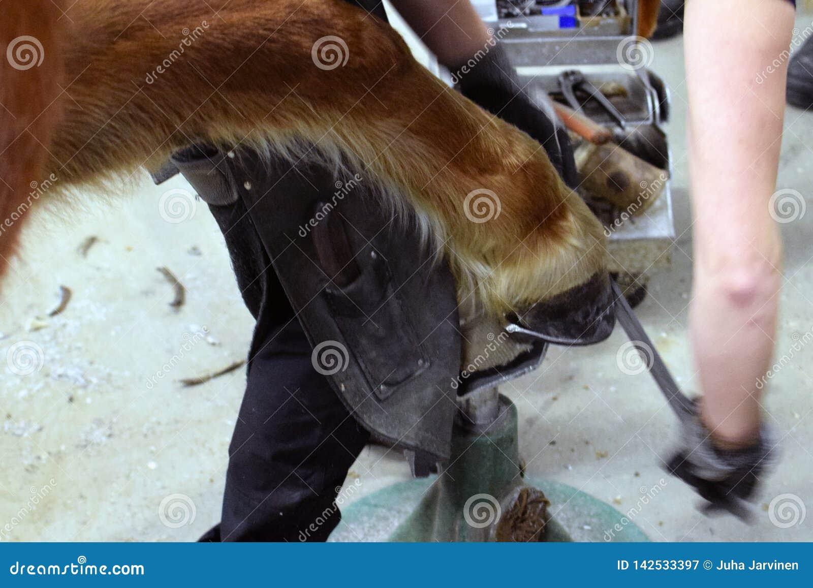 Farrier Shoeing um cavalo