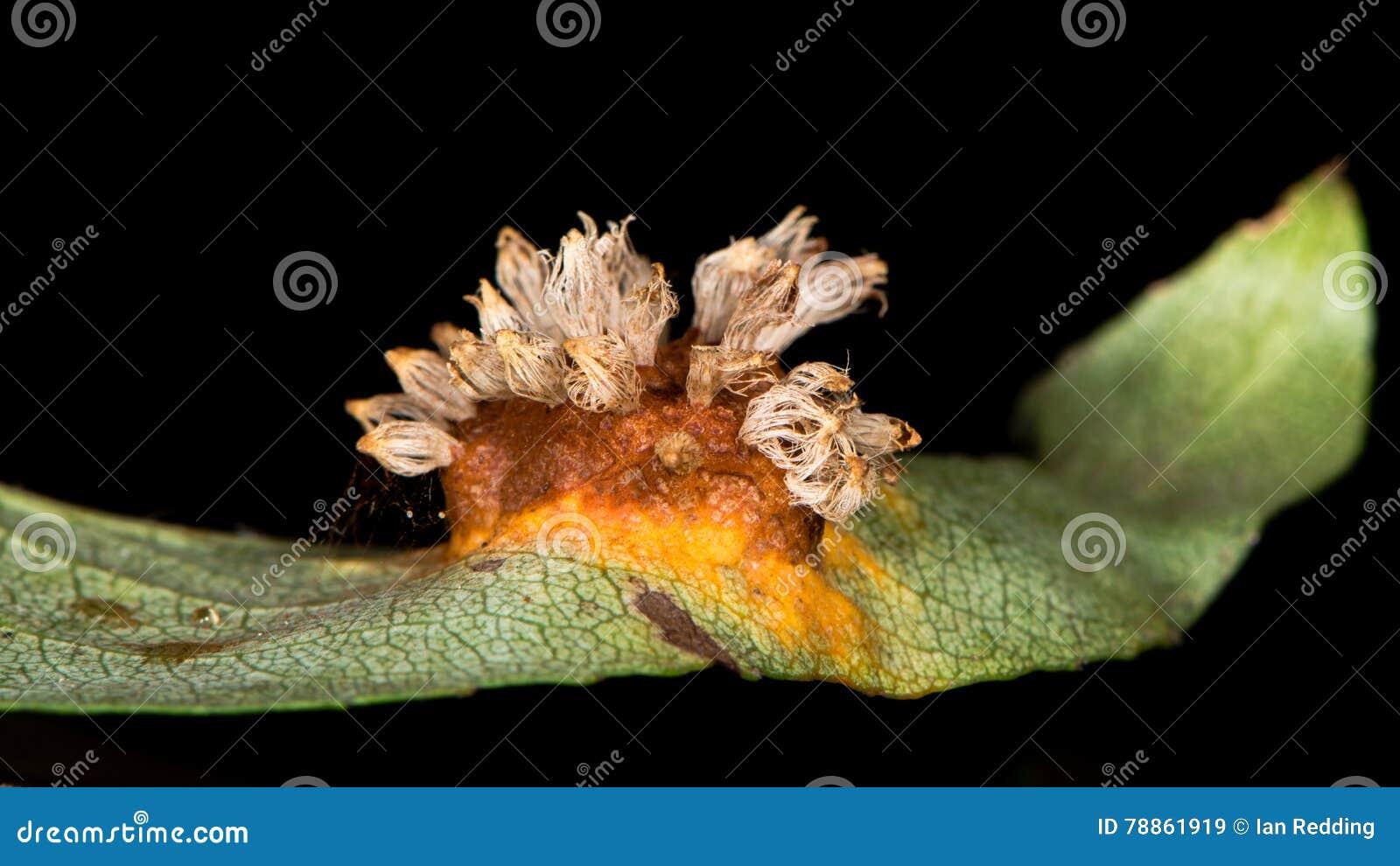 Fasciazione della pera causata dai sabinae del gymnosporangium