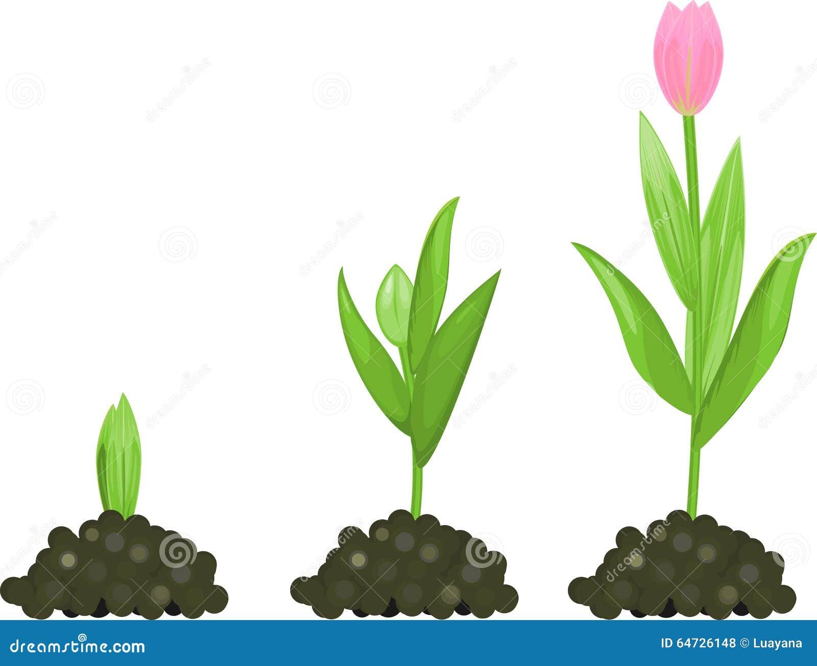 Fase di crescita del tulipano
