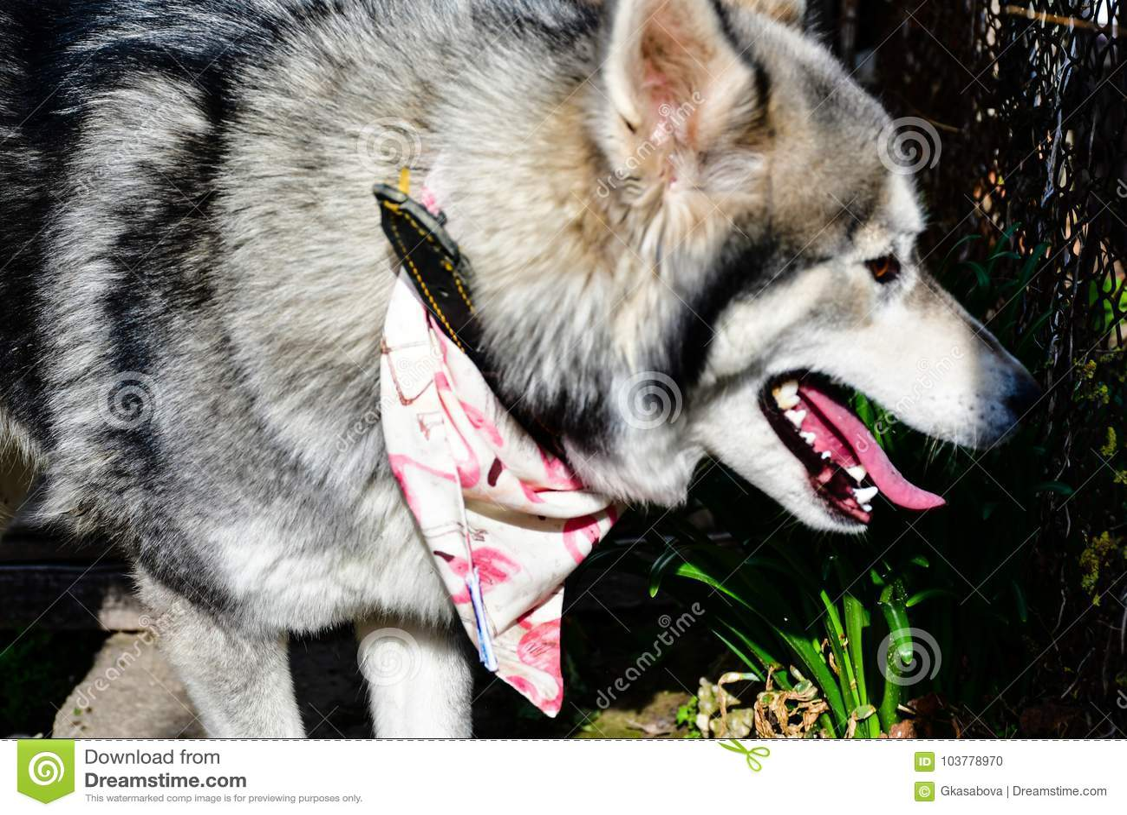 Fashion Siberian Husky Dog Stock Photo Image Of Brave 103778970