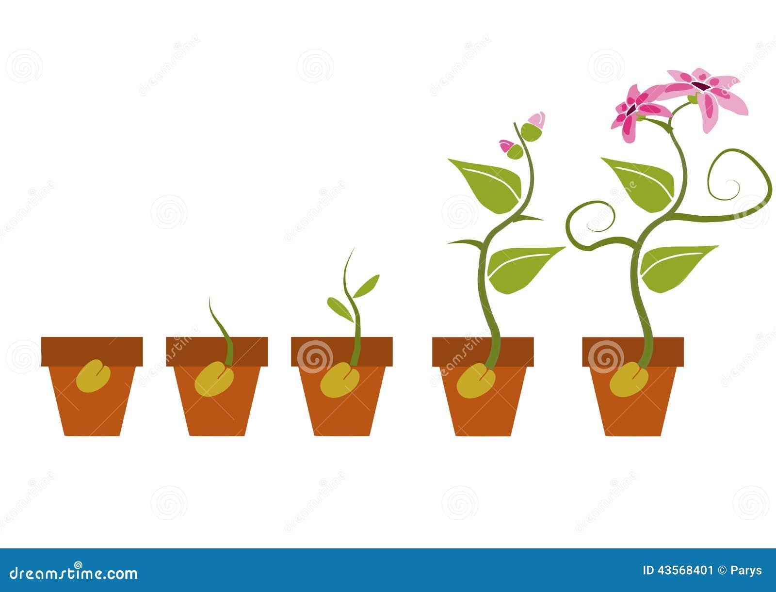 Fasi Di Crescita Di Una Pianta on Seed Germination Cartoon