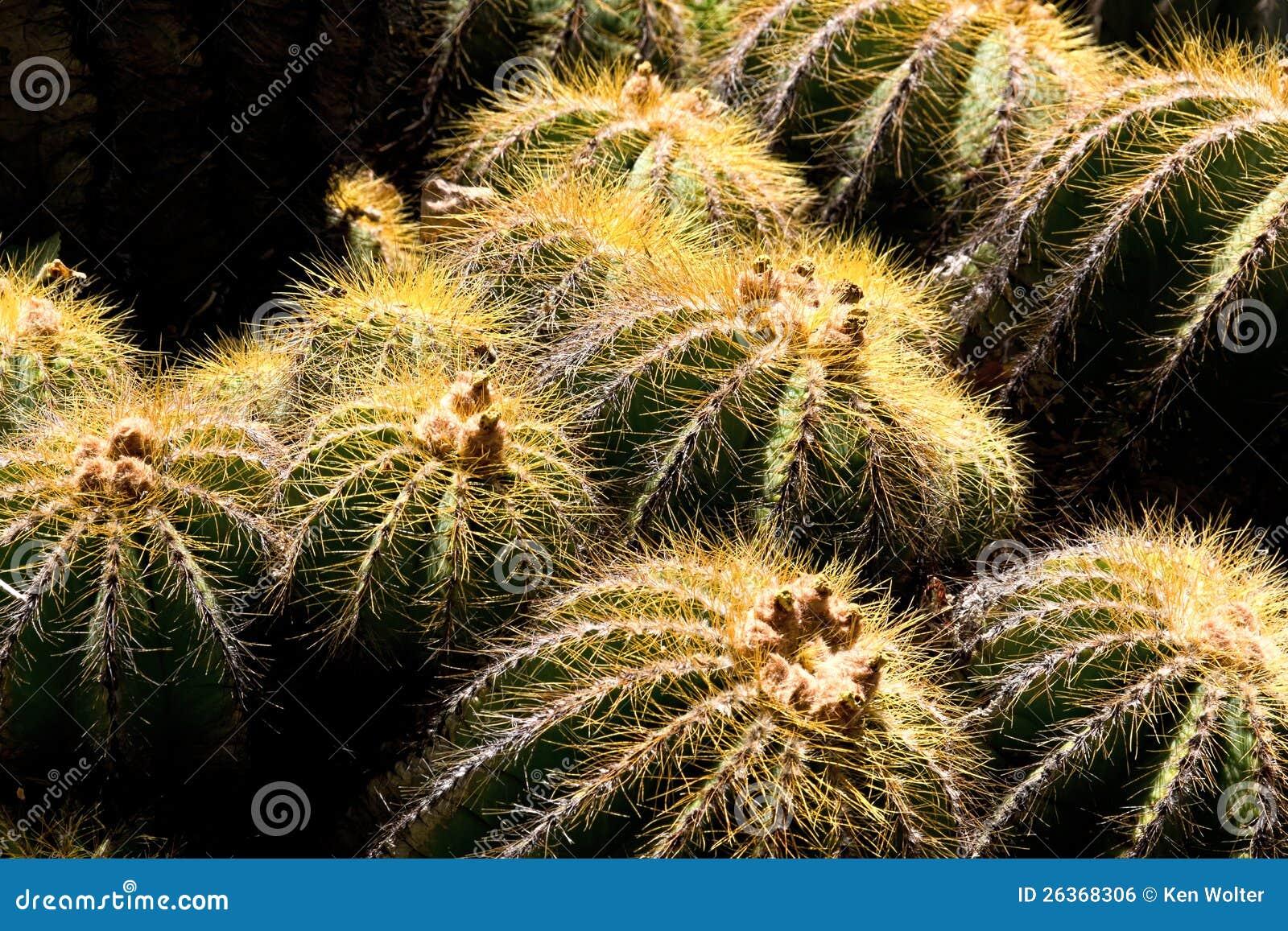 Fass-Kaktus