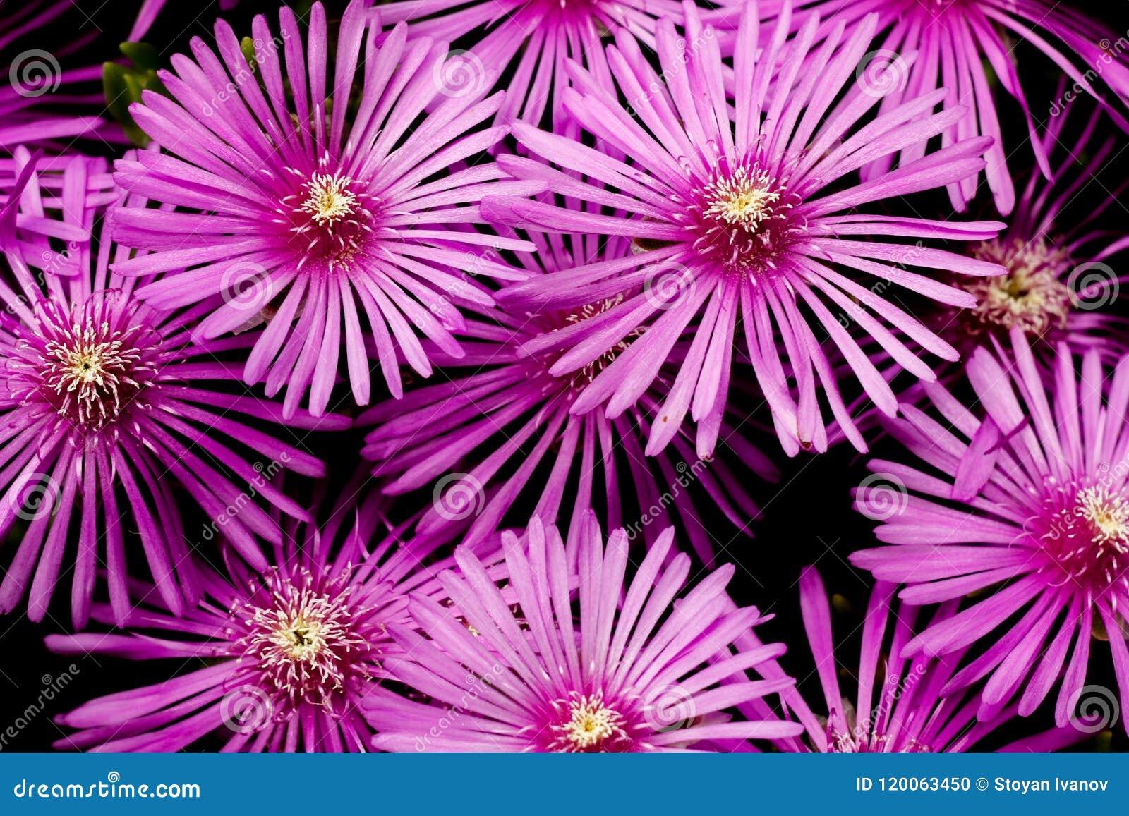 Fassbinder ` s iceplant purpurroter Blumenabschluß oben