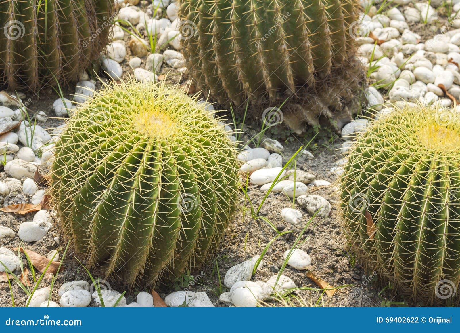 Fasskaktus, der im Kies wächst