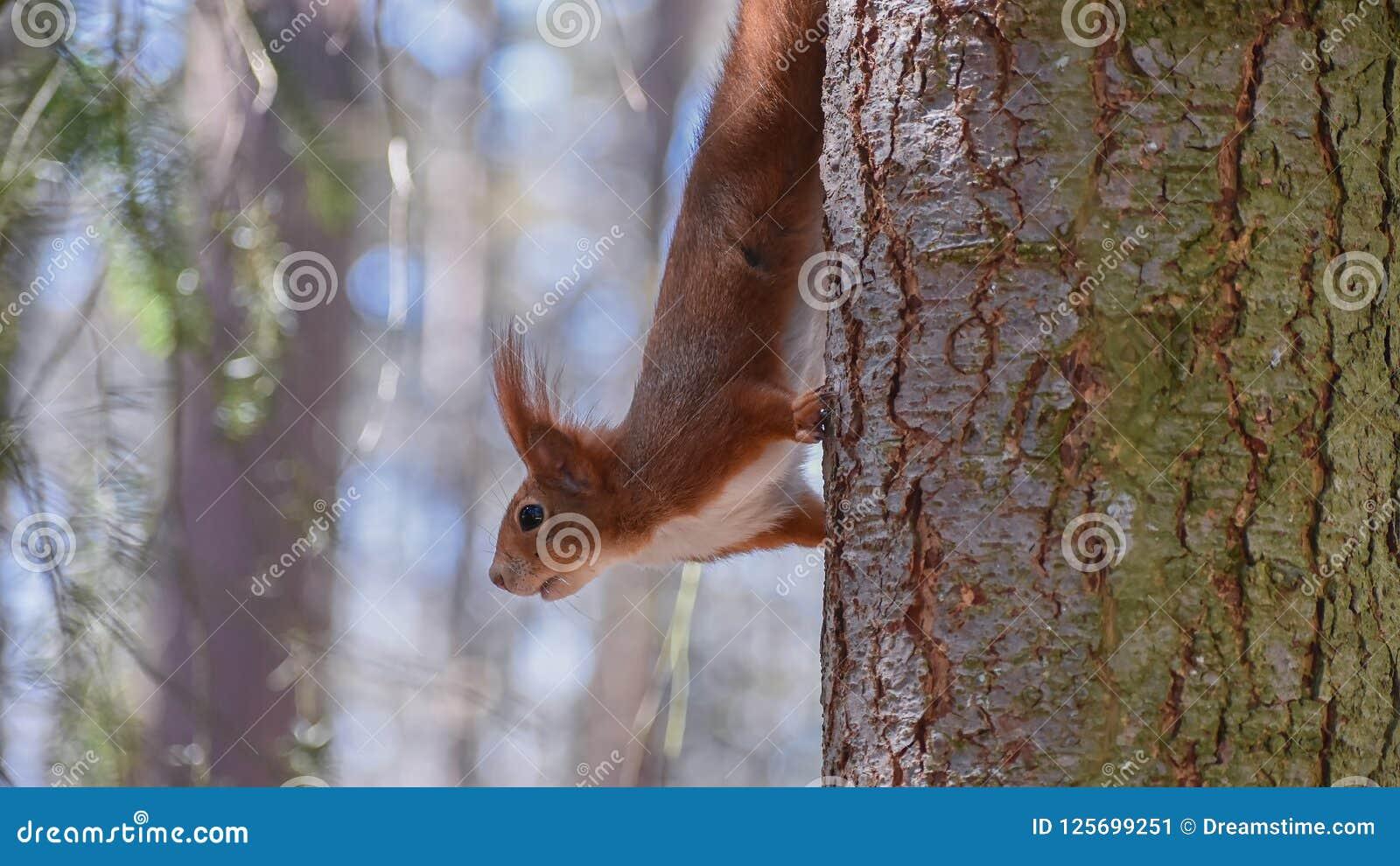 Fastar den uppochnervända ekorren