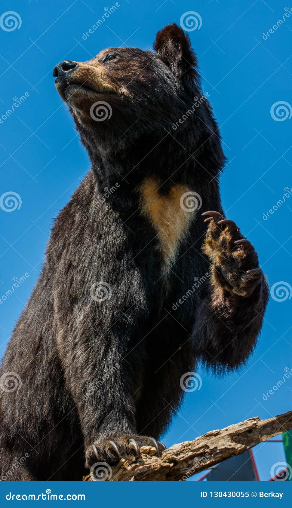 Faszerujący duży czarny niedźwiedź jako dzikie zwierzę w widoku