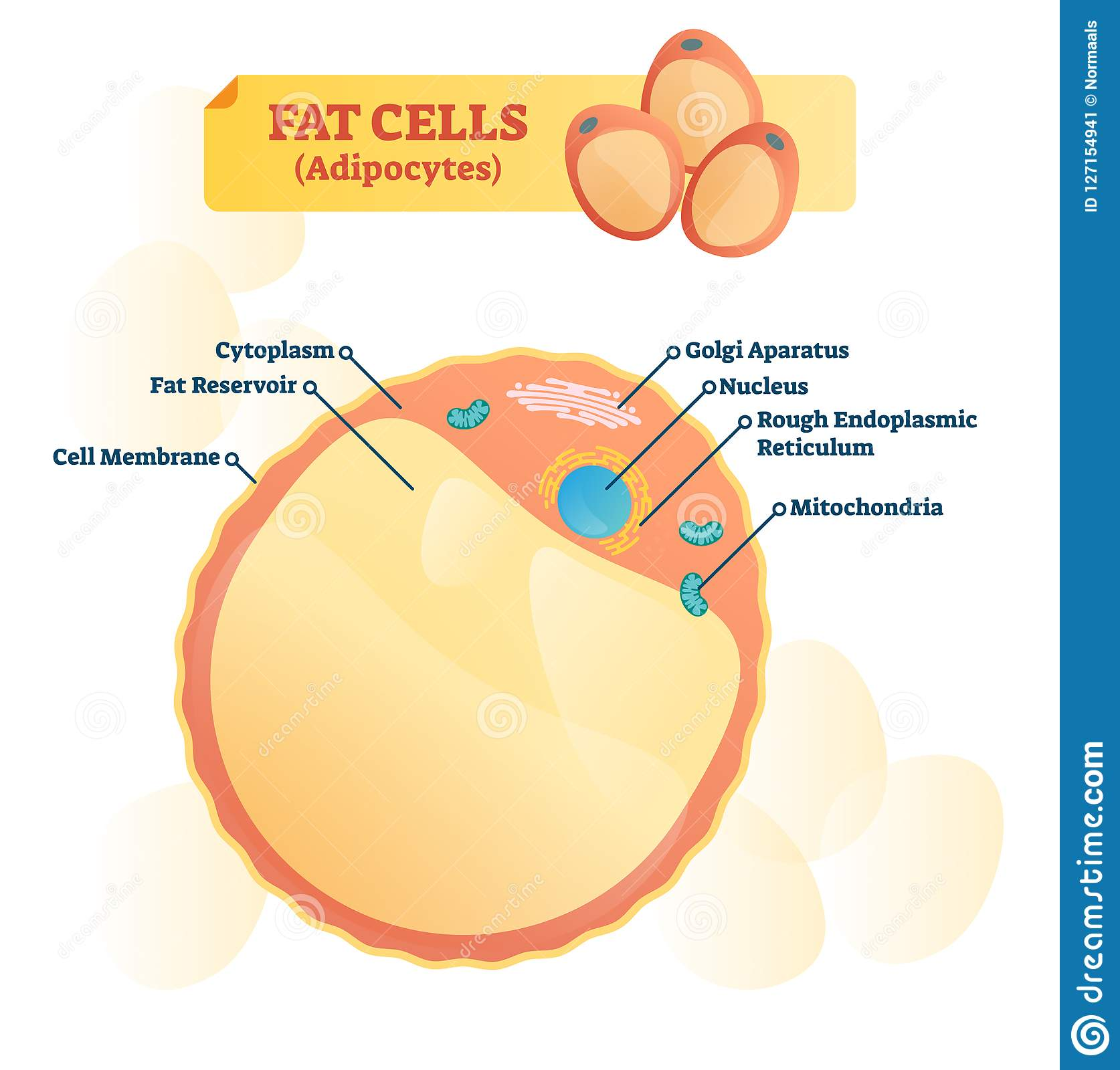 Adipocyte Structure Fat Cell Stock Vector Wiring Diagram