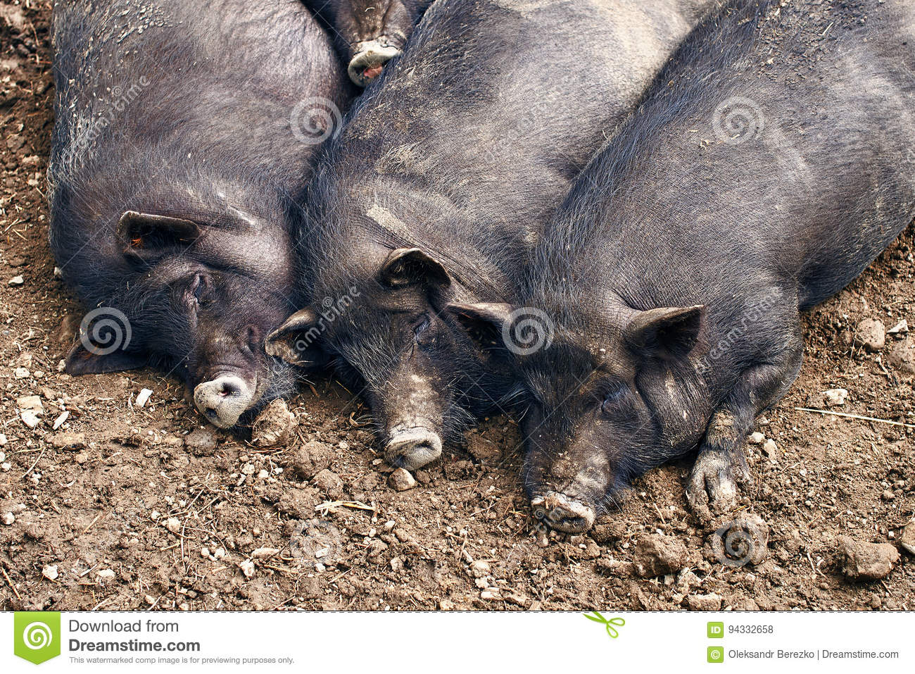Fat pigs relaxing on the farm