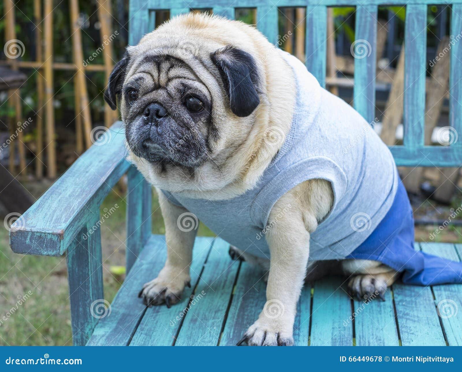 fat pug dog stock photo image of face love friend 66449678