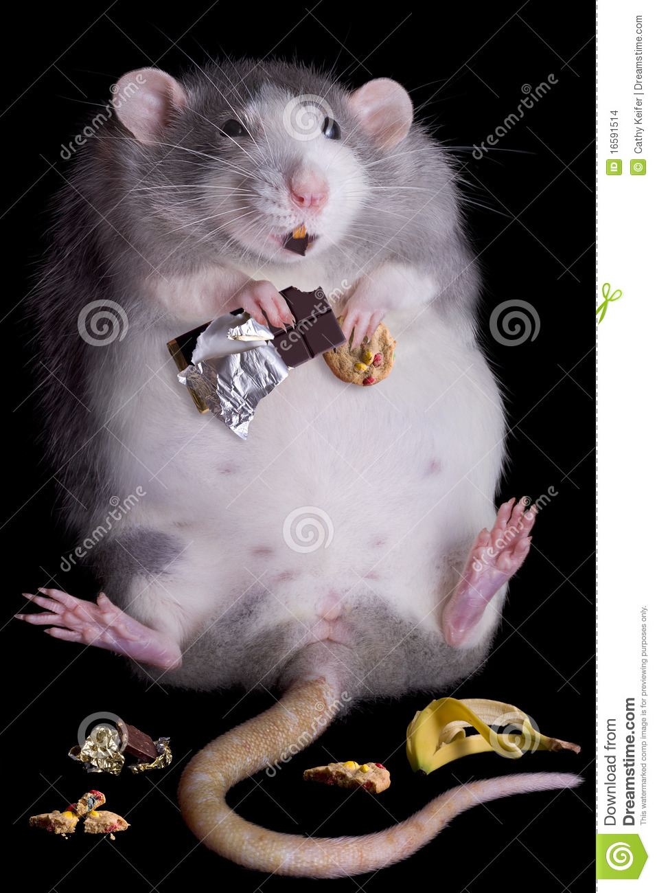 fat rat named Drucilla is eating candy and cookies.