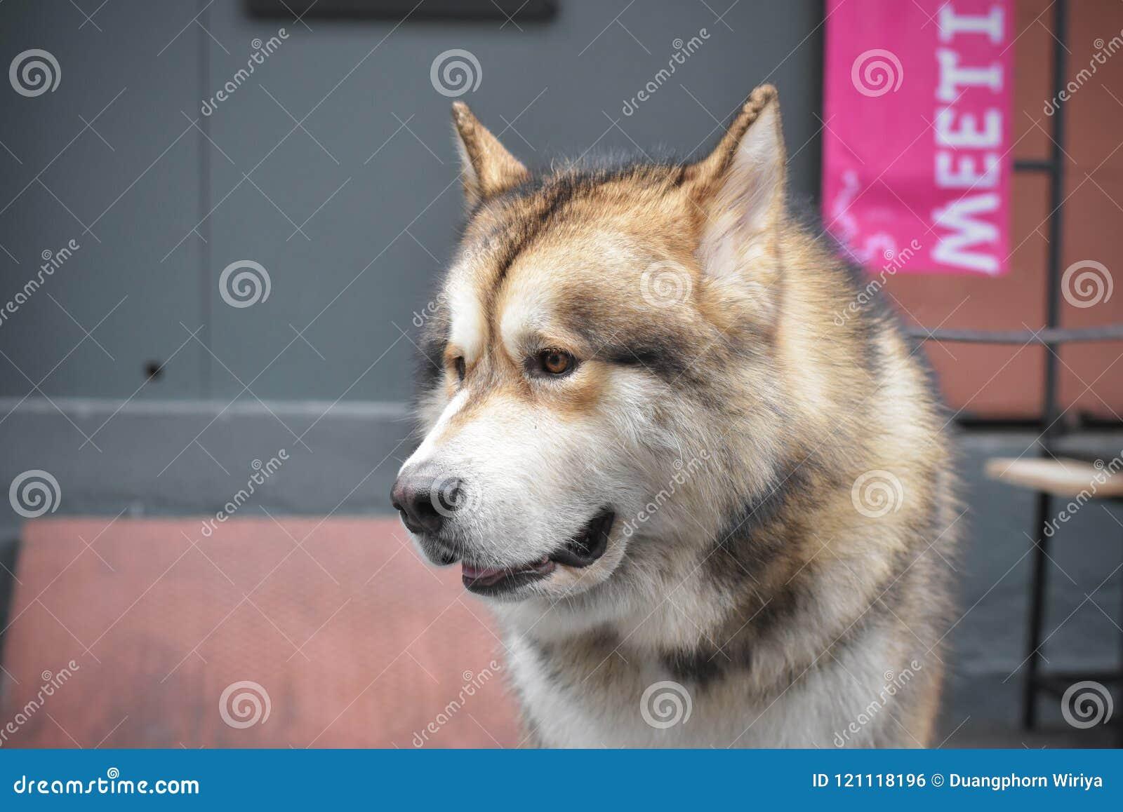 A Fat Siberian Husky Stock Photo Image Of Feeding Brown 121118196