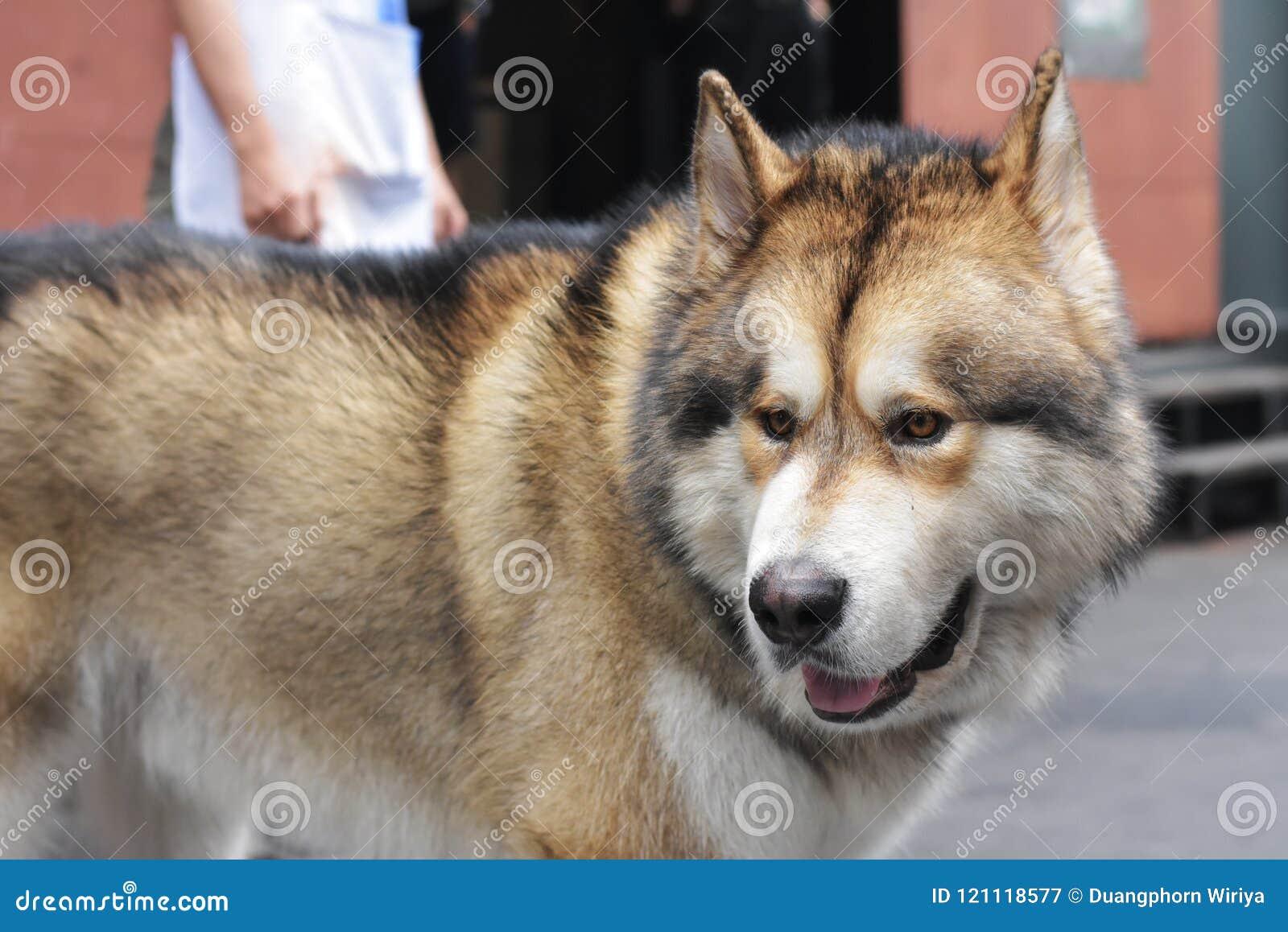 A Fat Siberian Husky Stock Image Image Of Wildlife 121118577
