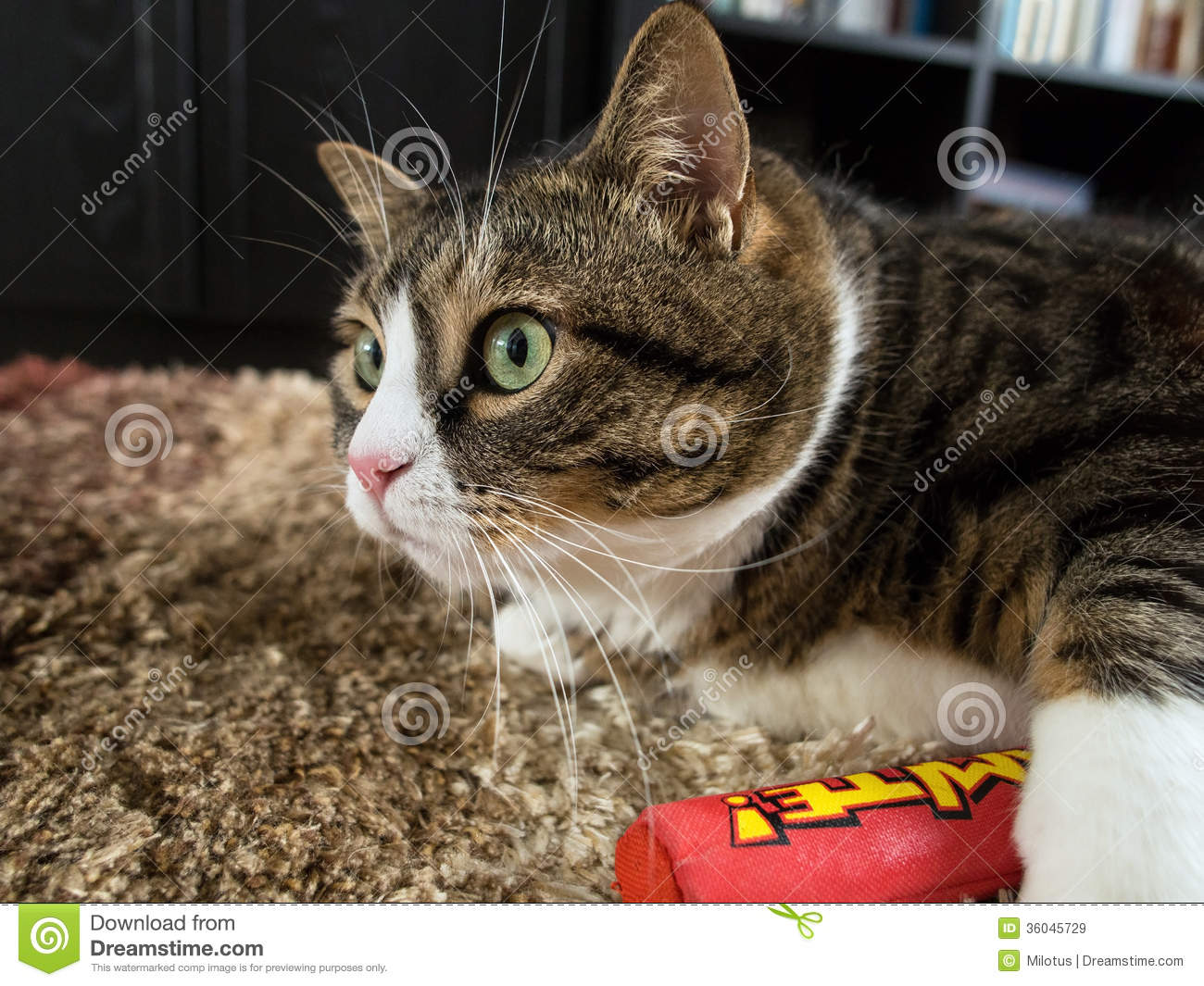 Fat Tabby Cat 4 Royalty Free Stock Images Image 36045729