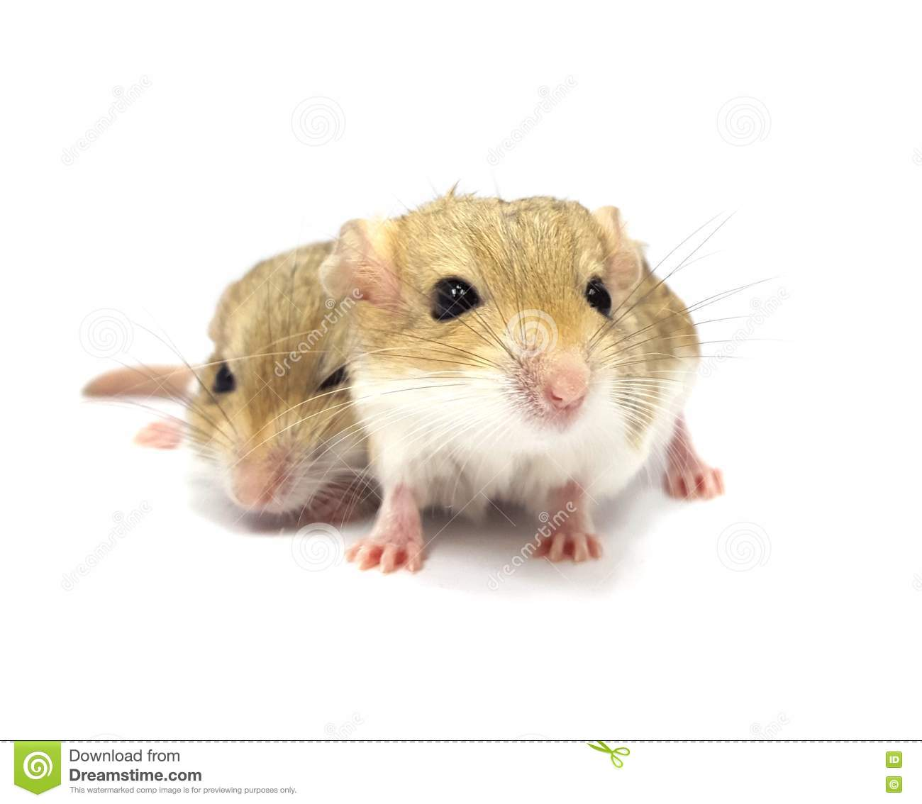 fat tail gerbil rodent pet isolated stock photo - image of rodent