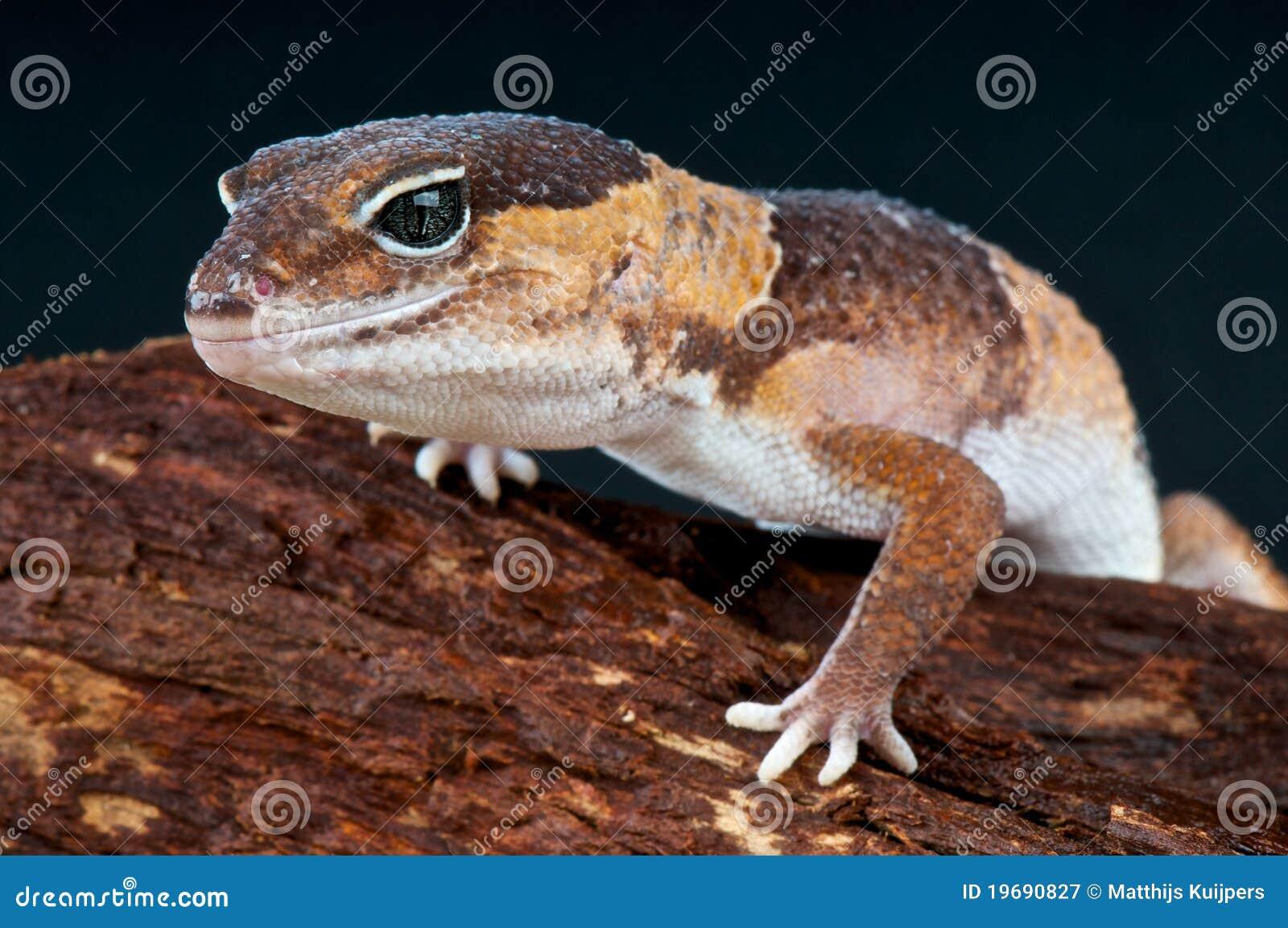 Fat-tailed gekko