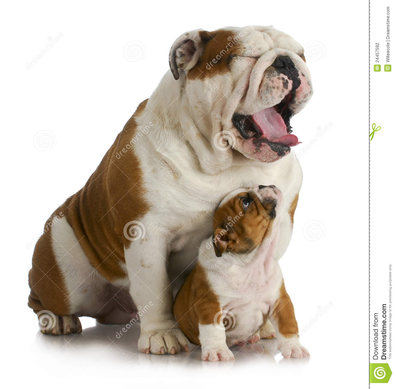 Father and son dogs - english bulldog puppy looking up at adult yawing ...