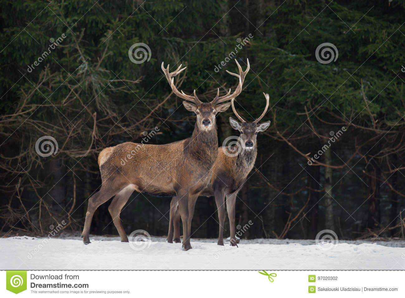 Father And Son:Two Generations Of Noble Deer Stag. Two Red Deer Cervus Elaphus Stand Next The Winter Forest. Winter Wildlife St