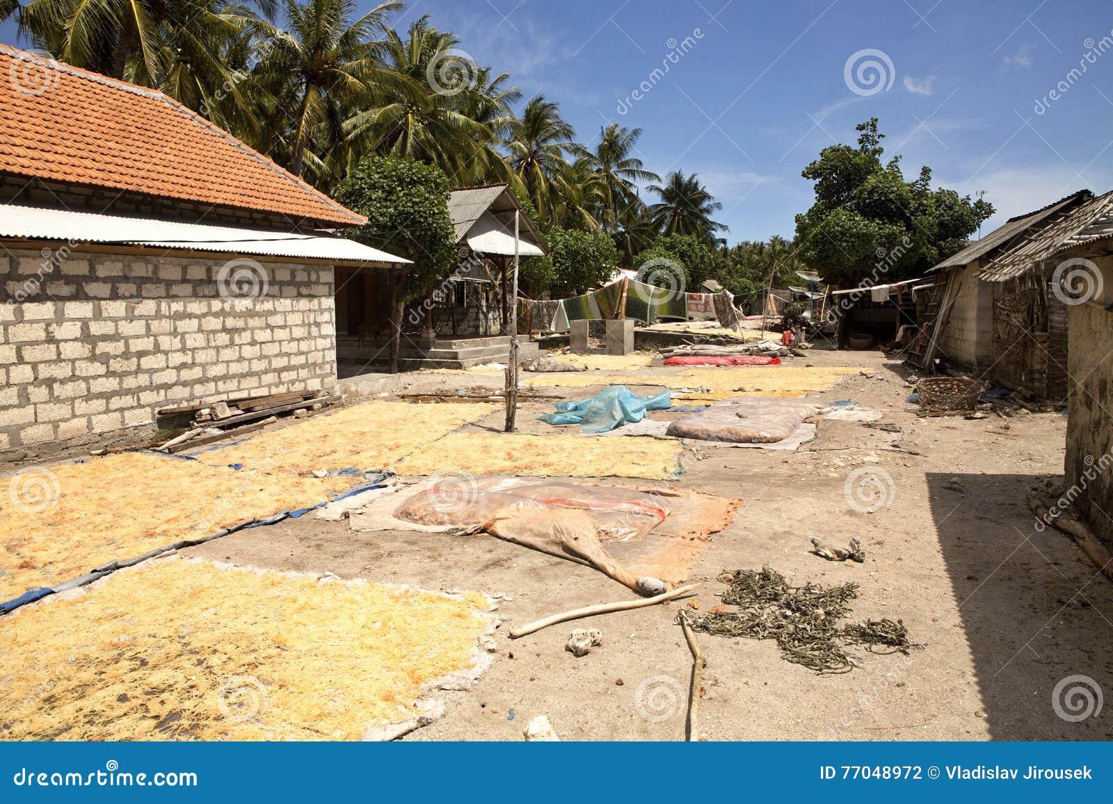 Fattiga kojahavsväxtodlare, Nusa Penida, Indonesien