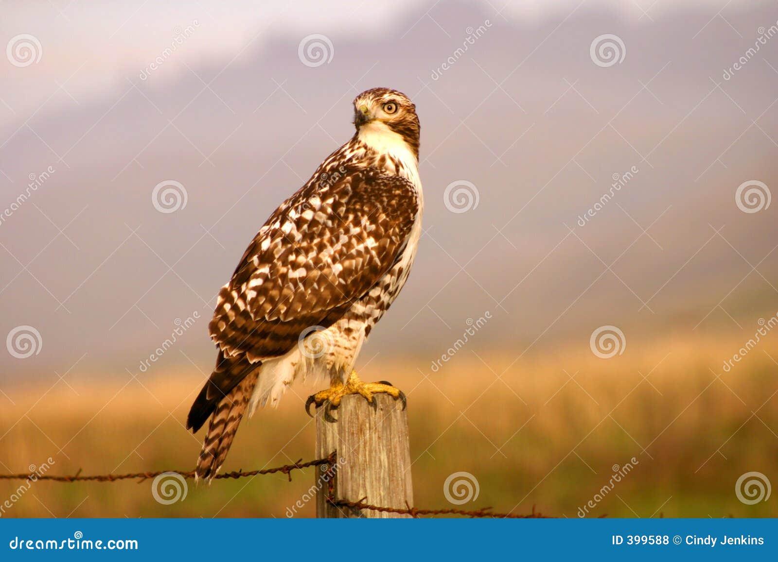 Faucon de chasse
