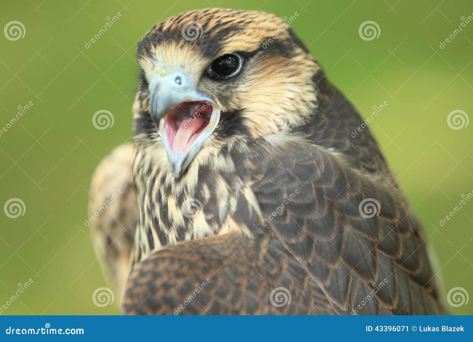 Faucon de Lanner