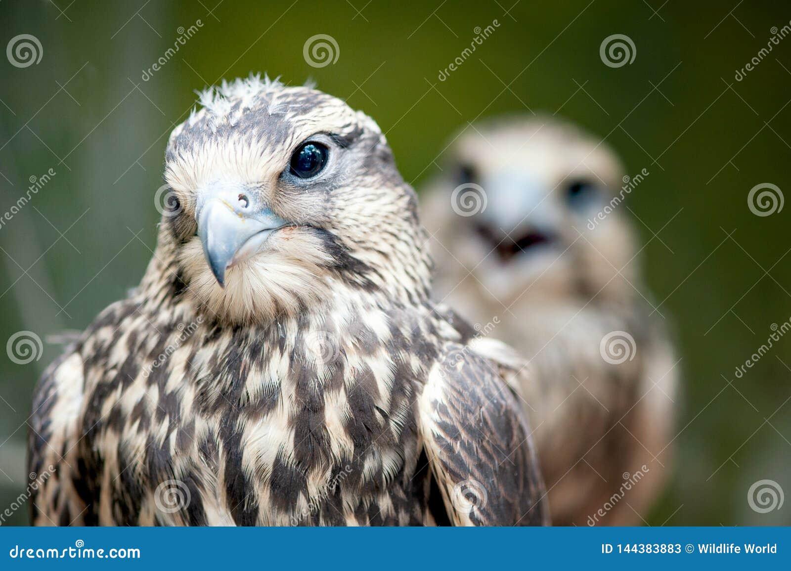 Faucon de Saker, cherrug de Falco, portrait en gros plan Oiseaux de proie