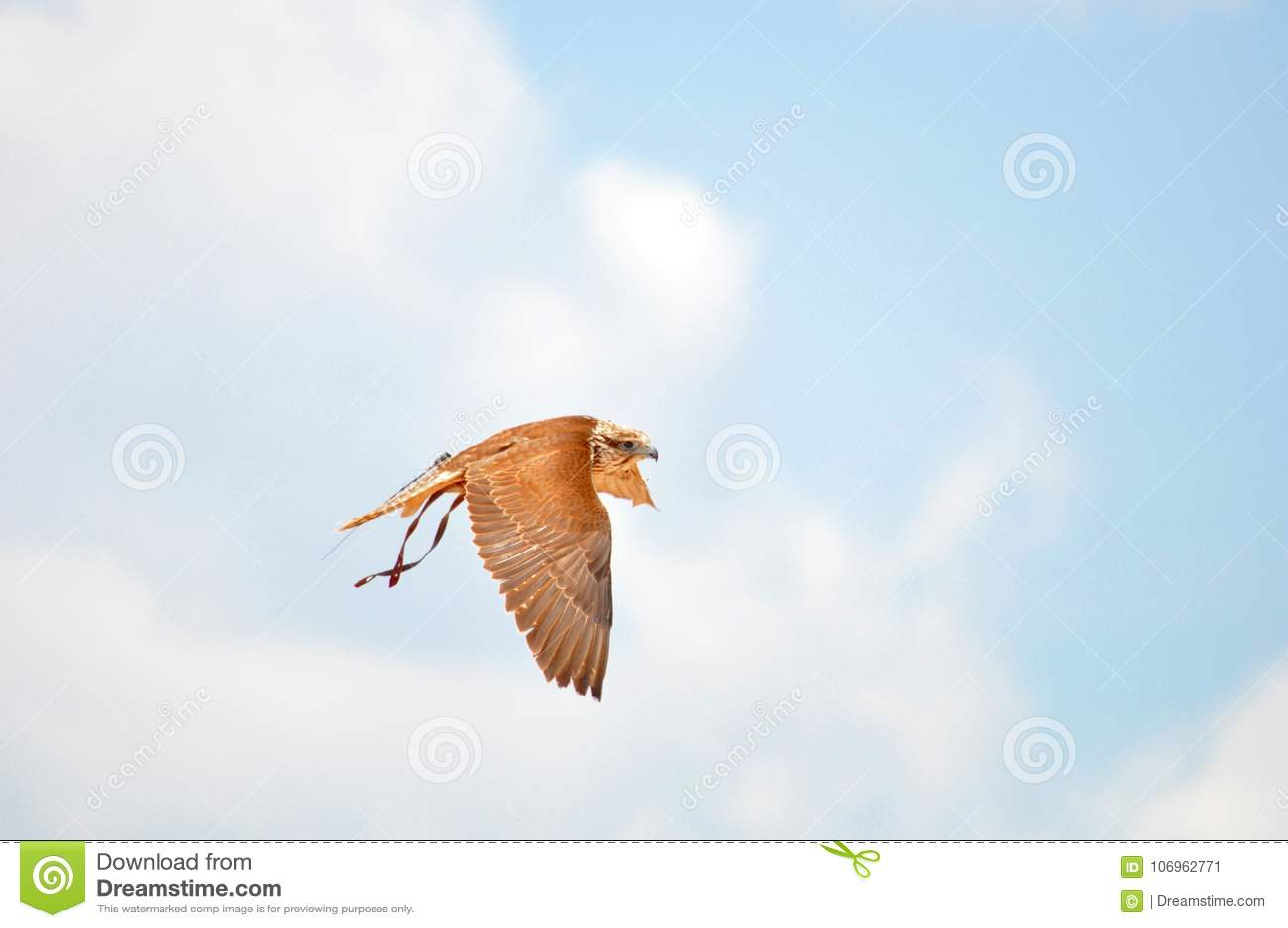 Faucon de Saker, faucon pérégrin, exposition de fauconnerie