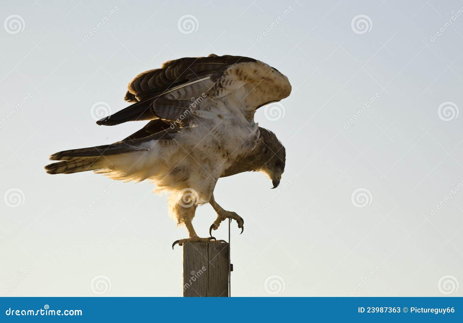 Faucon de Swainson sur le poteau