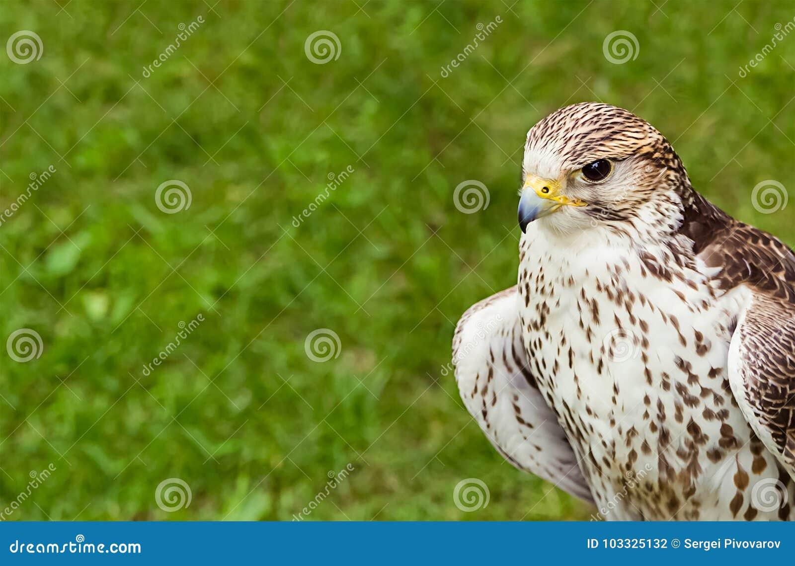 Faucon-jeune plan rapproché prédateur d oiseau de portrait d un fond vert de pelouse