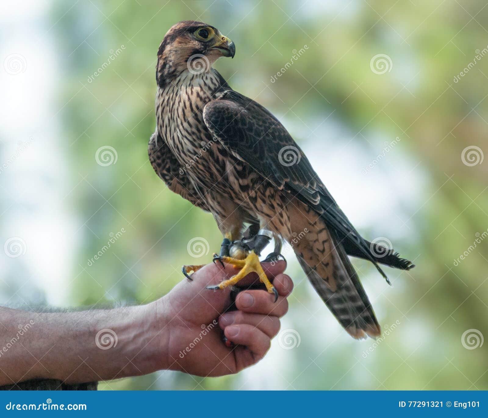 Faucon pérégrin non mûr sur le falconer& x27 ; main de s