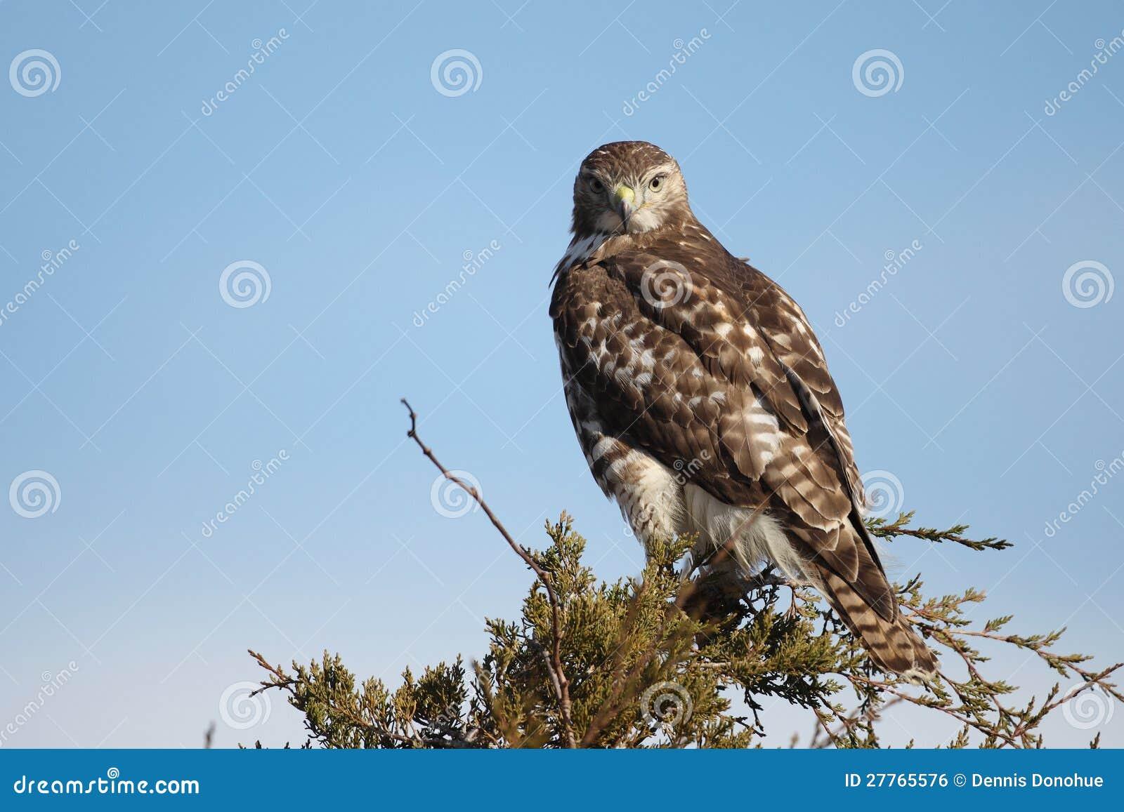 Faucon suivi par rouge juvénile