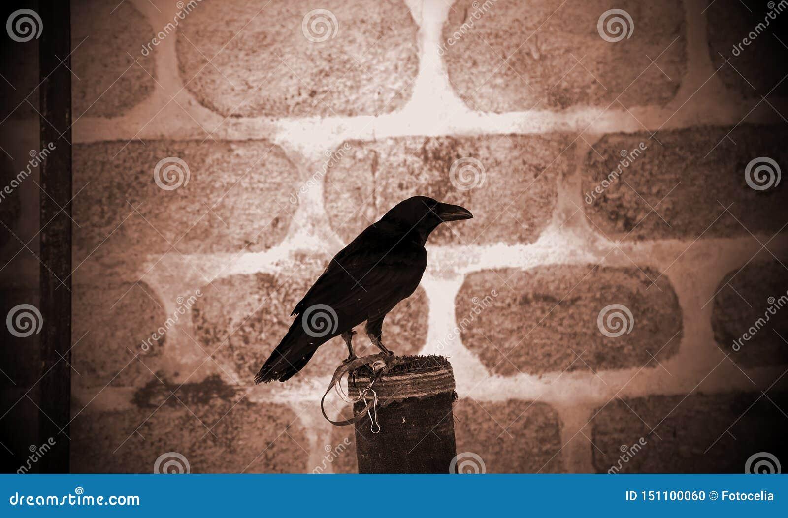 Fauconnerie noire de corbeau
