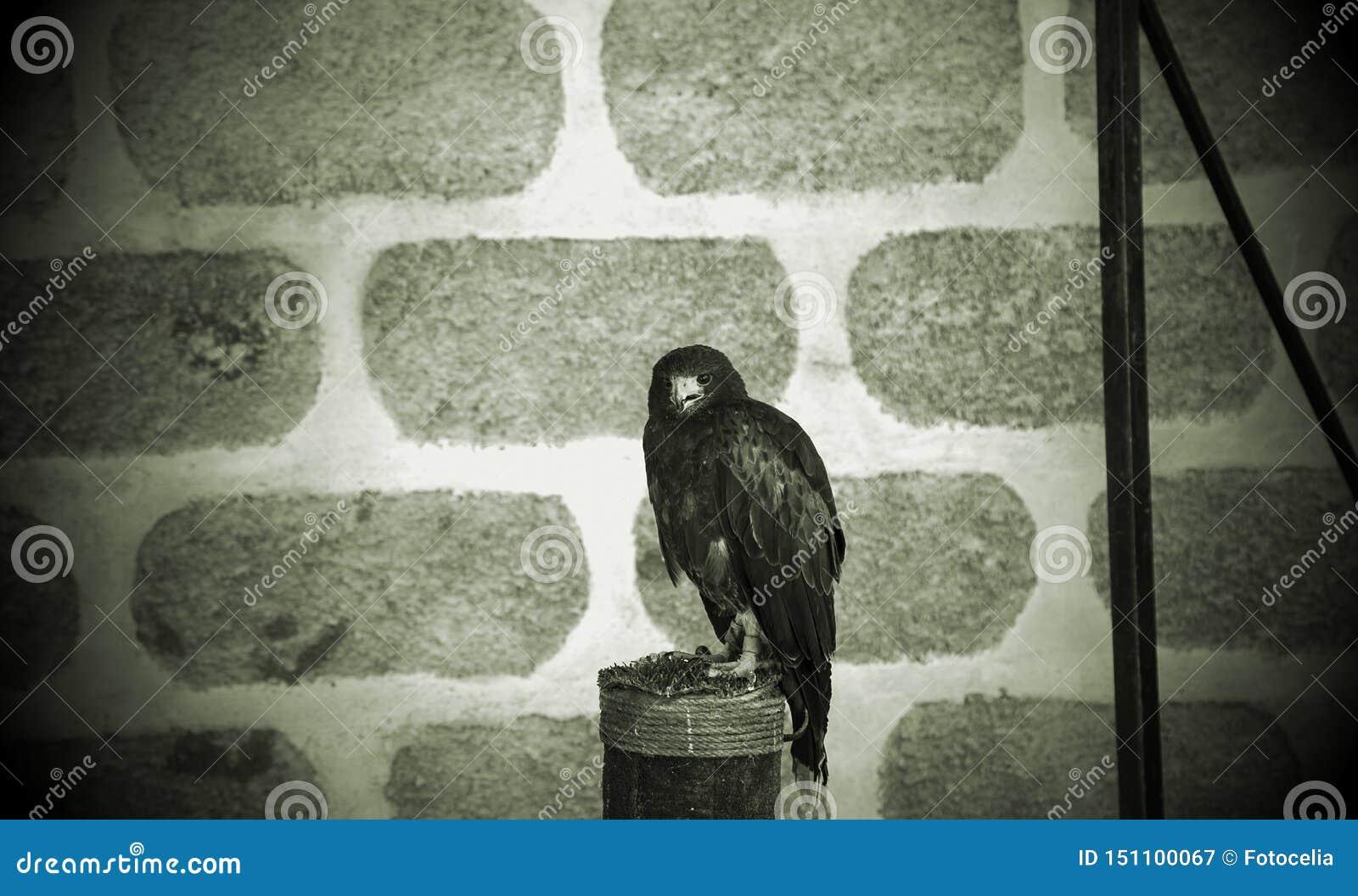 Fauconnerie sauvage d aigle